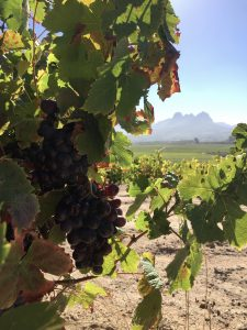 Adam Mason, Raised by Wolves: taken in the Cinsaut vineyard used to produce Old School. The view is looking towards the Helderberg mountain