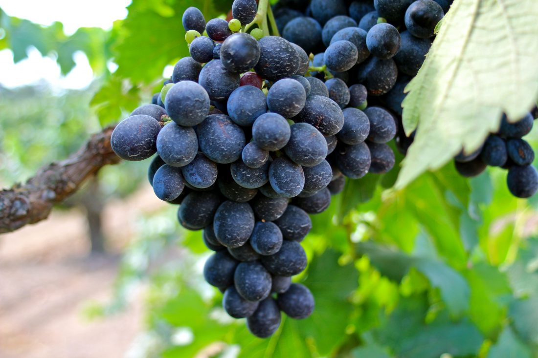 cinsault cinsaut grapes